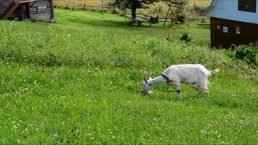 Thumbnail for Goat 10