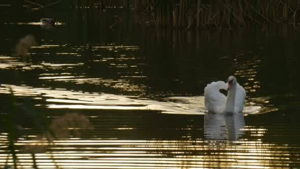 Thumbnail for White Swan Bird is Swimming on The Lake Surface