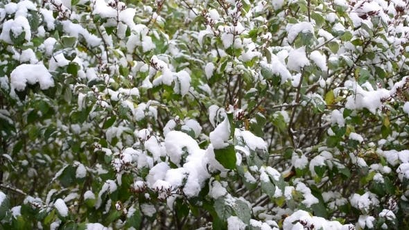 Thumbnail for Green  Leaves Covered With Snow