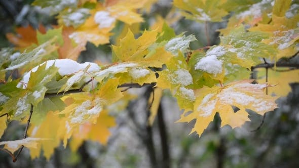 Thumbnail for Yellow Maple Leaves In  Snow