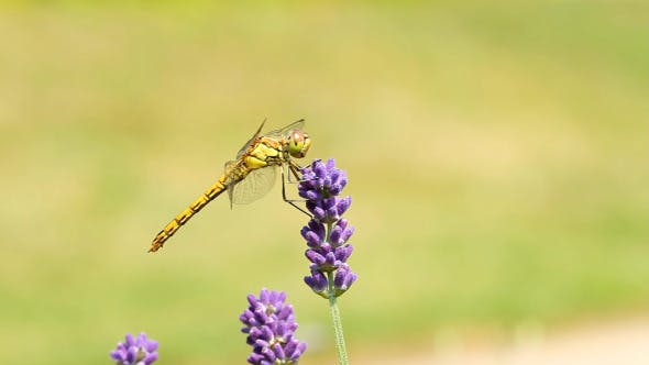 Thumbnail for Dragonfly On Lavender Flowers