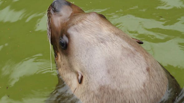 Thumbnail for Fur Seal In The Sea
