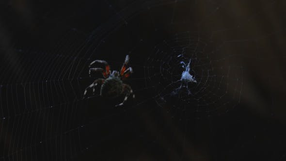 Thumbnail for Spider Spinning a Web