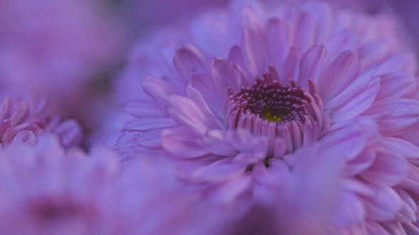 Thumbnail for Purple Daisy Flowers