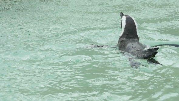 Thumbnail for Penguin Swimming
