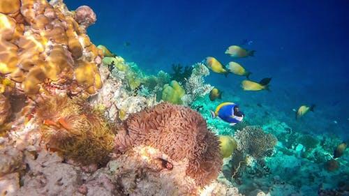 Tropical Saltwater Fish Anemonefish