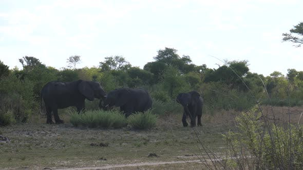 Thumbnail for Three African Bush elephants