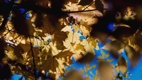 Thumbnail for A Branch Of Yellow Autumn Leaves