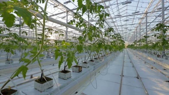 Thumbnail for A Large Greenhouse, a Lot Of Long Rows Of Plants.