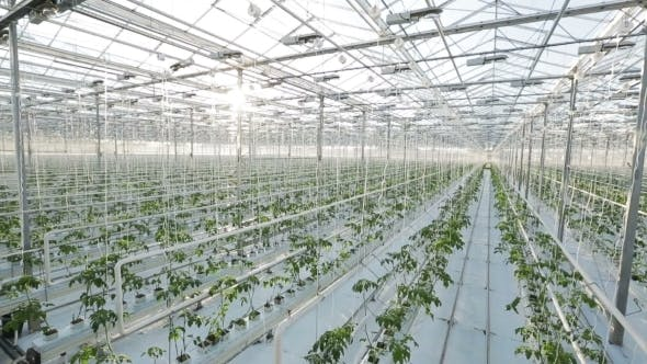 Thumbnail for A Large Greenhouse, a Lot Of Long Rows Of Plants