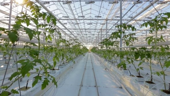 Thumbnail for Industrial Greenhouses, Many Rows Of Green Plants.