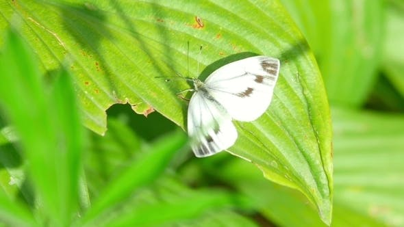 Cover Image for White Butterfly On a Leaf