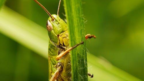 Grasshopper On Blade Of Grass