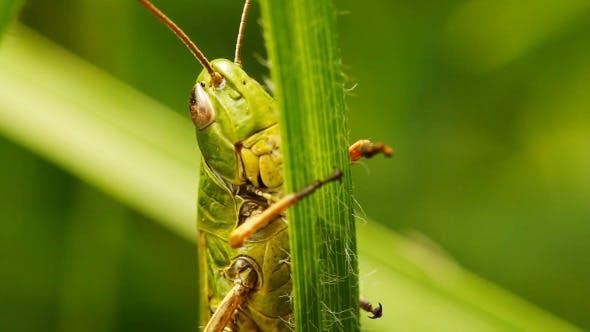 Thumbnail for Grasshopper On Blade Of Grass