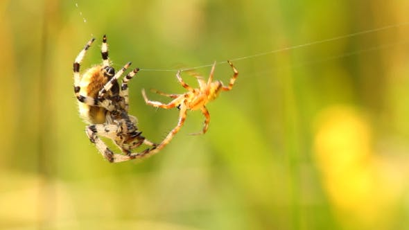 Thumbnail for Spiders Fight