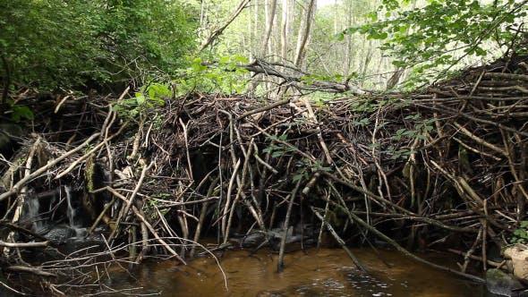 Thumbnail for Dam Beavers