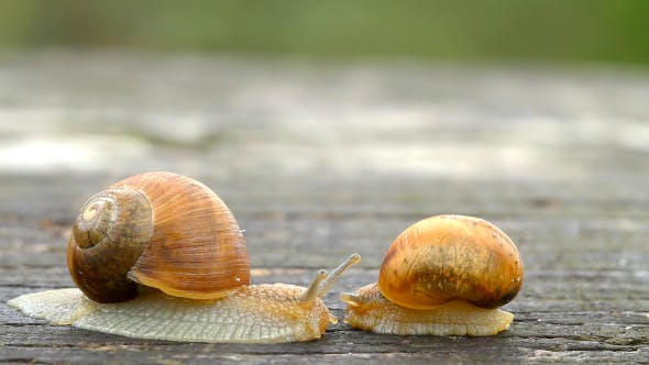 Thumbnail for Two Snails