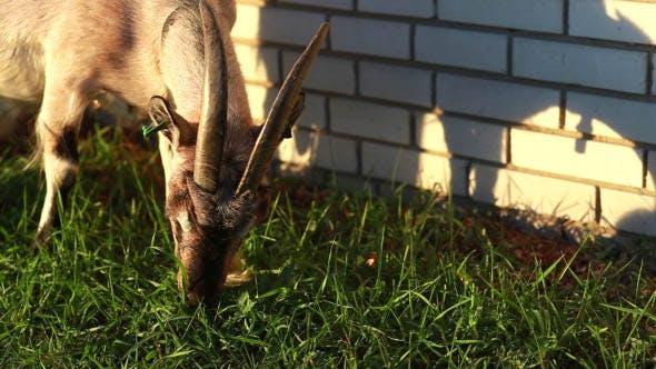Goat Grazing Near the House