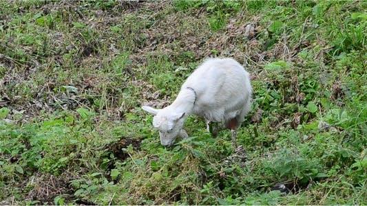Thumbnail for Goat 6