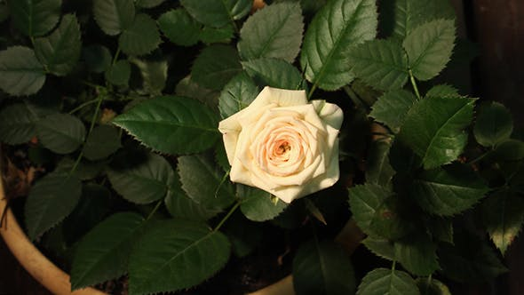 Thumbnail for Growing Of White Pink Rose