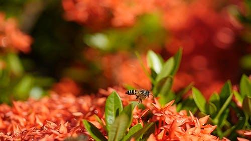 Bee and Ixora Flower 02