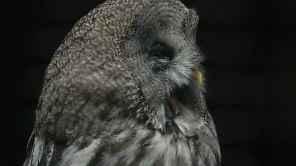 Thumbnail for Portrait of a Yawning Owl Close-up