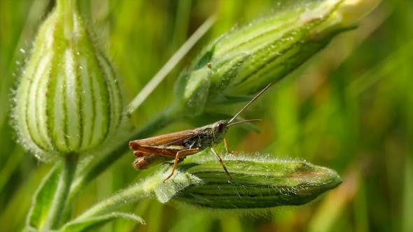 Thumbnail for Grasshopper On a Blade Of Grass