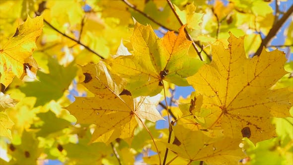 Thumbnail for Yellow Maple Leaves In Autumn