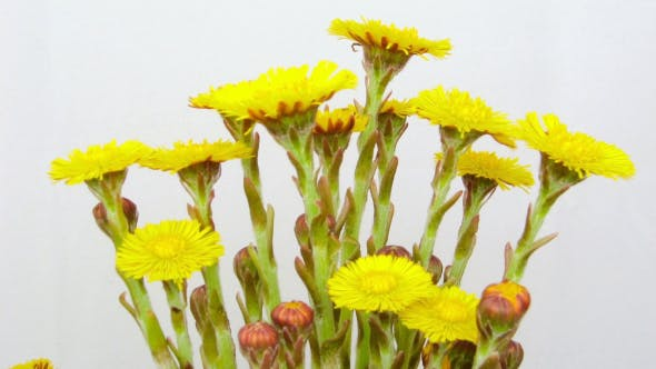 Thumbnail for Flowers Farfara