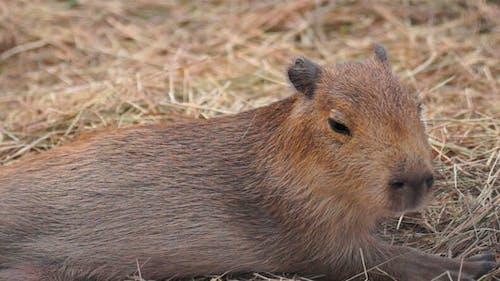 Animal Capybara