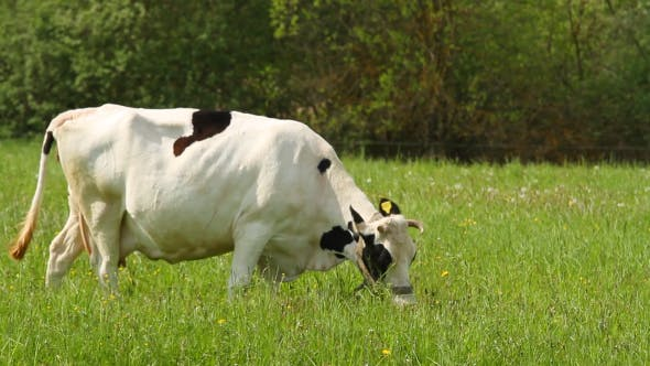 Thumbnail for Cow Eats Grass