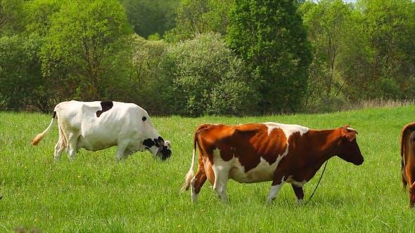 Thumbnail for Cows Eats Grass
