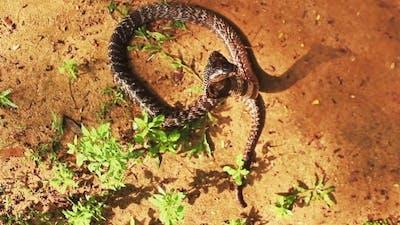 Asia Sri Lanka Cobra