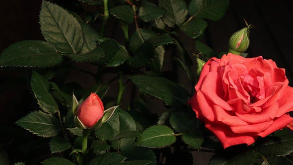 Thumbnail for Growing Of Red Pink Rose
