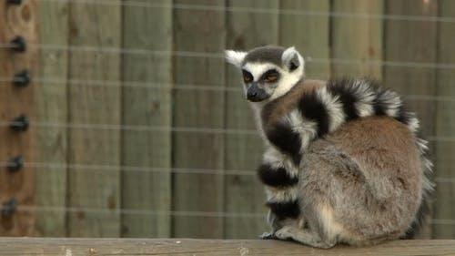 Mammal Animal Lemur