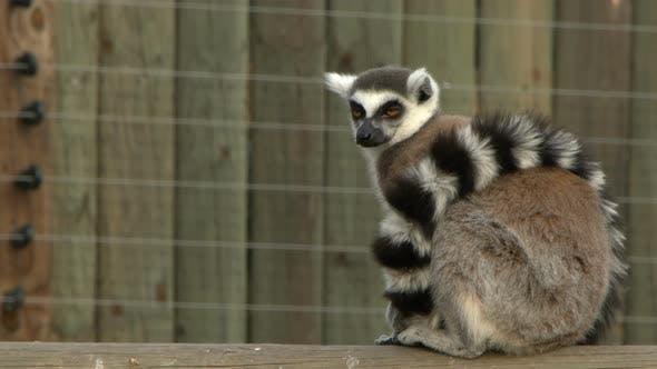 Thumbnail for Mammal Animal Lemur