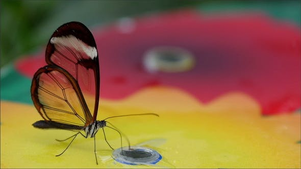 Thumbnail for A Transparent Winged Butterfly