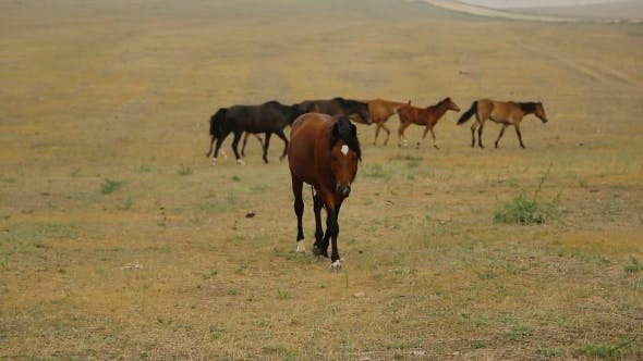 Thumbnail for Wild Horses Brown Slowly Walks To The Camera In