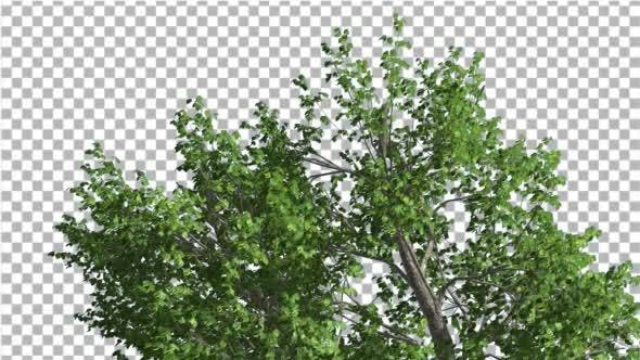 Thumbnail for Green Ash Swaying Tree is Swaying at The Wind