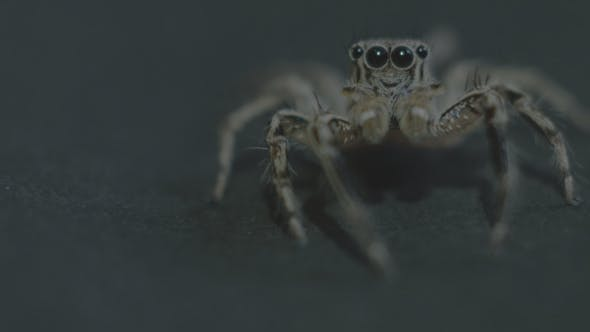 Thumbnail for Jumping Spider
