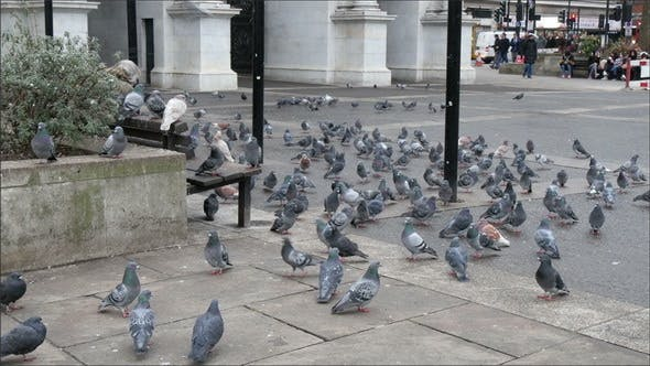 Thumbnail for Flock of Pigeons on the Ground of a Park in London