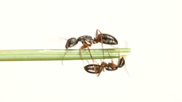 Thumbnail for Ant On White Background