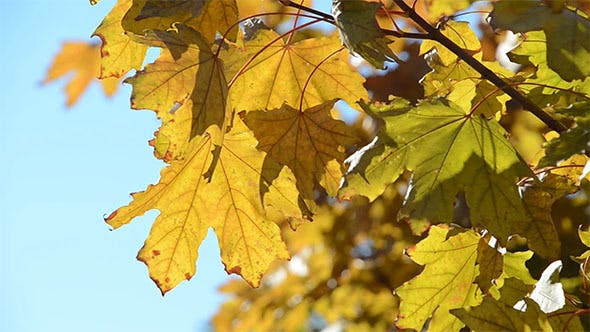Thumbnail for Yellow Maple Leaves in the Wind