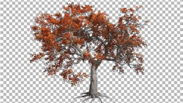 Thumbnail for Japanese Maple Big Tree Crown Tree is Swaying