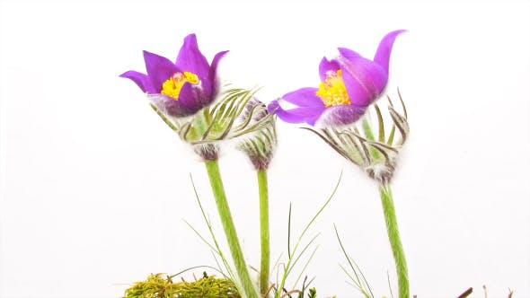 Thumbnail for Spring Flowers Pulsatilla Vulgaris