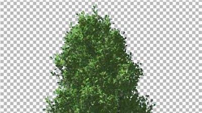 Cypress Oak Crown Tree Crown Green Branches