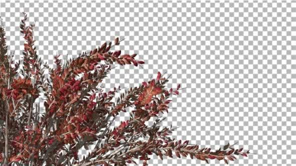 Thumbnail for Crape Myrtle Crown Bush Crown Red Leaves Swaying