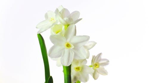 White Narcissus Blossoms