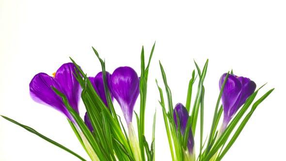 Thumbnail for Crocus Flowers Blossoms