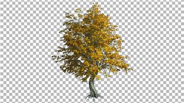 Thumbnail for Katsura Tree Fall with Roots is Swaying